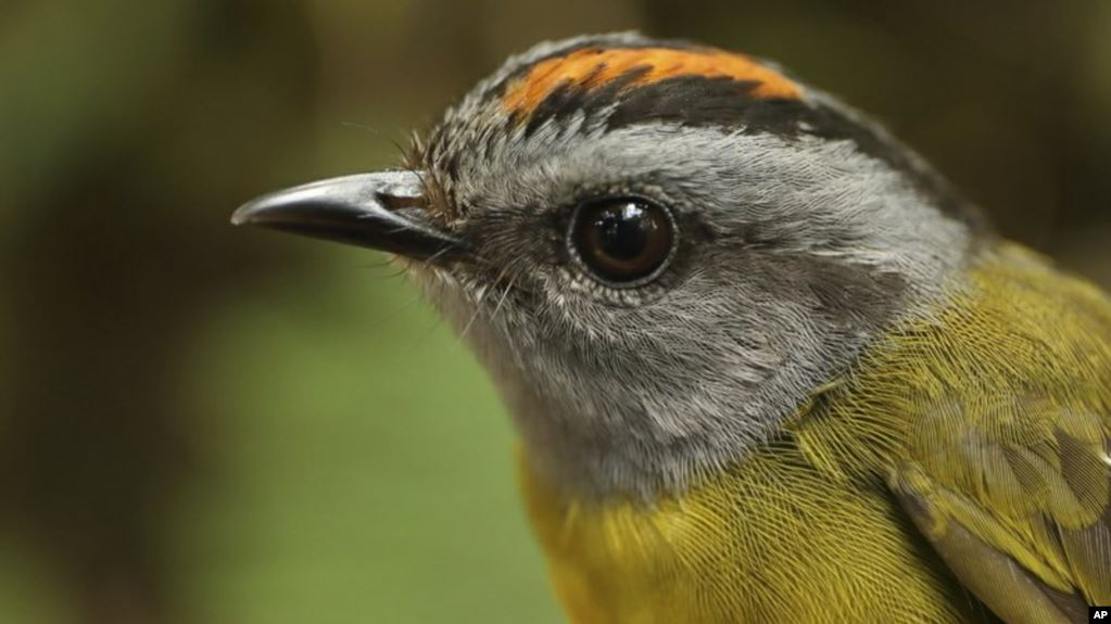 Mountain Birds Will Die Out as Planet Warms  s - Mountain Birds Will Die Out as Planet Warms